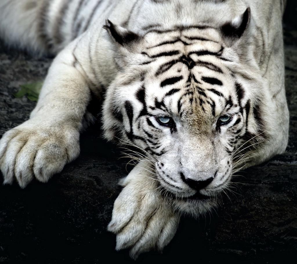 Mario Plascencia On Twitter Tiger Wallpaper Iphone Tiger Wallpaper Pet Tiger