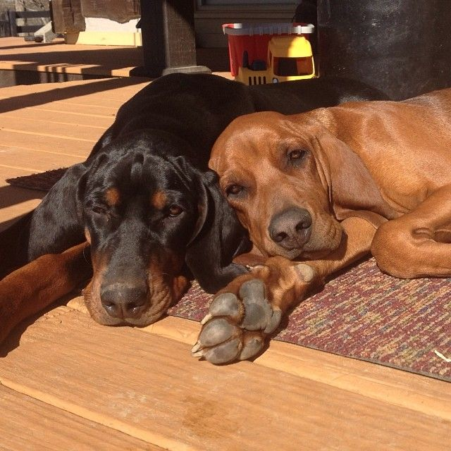 Hound Love Black And Tan And A Redbone Coonhound