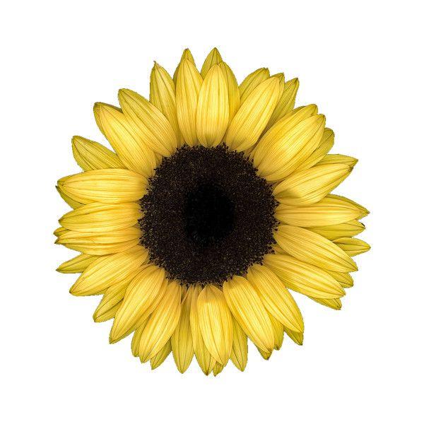 e722e9b27accf Sunflower transparent overlay Tumblr Overlays? ❤ liked on ...