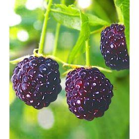Himbeere Purple Raspberry 1 Pflanze Gunstig Online Kaufen Mein Schoner Garten Pflanzen Himbeeren Beeren