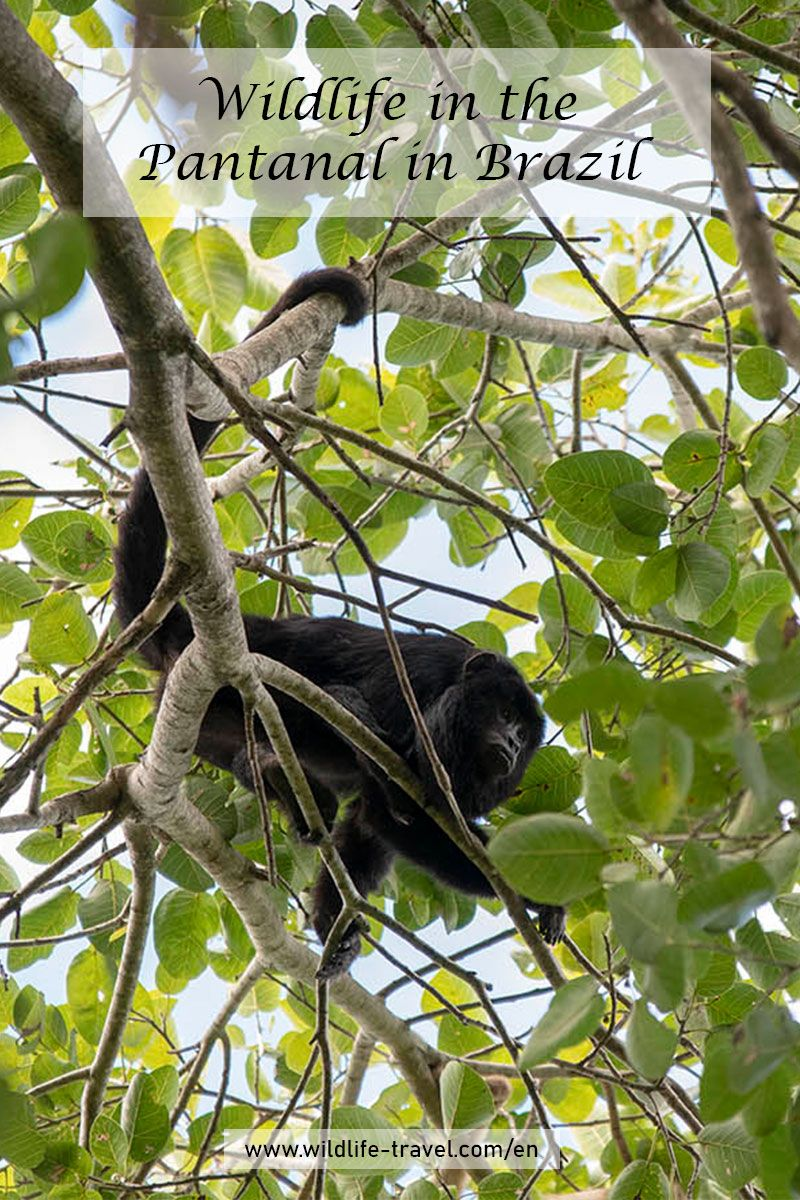 The Pantanal In Brazil And Its Wildlife Mato Grosso Do Sul Pantanal Wildlife Travel Wildlife