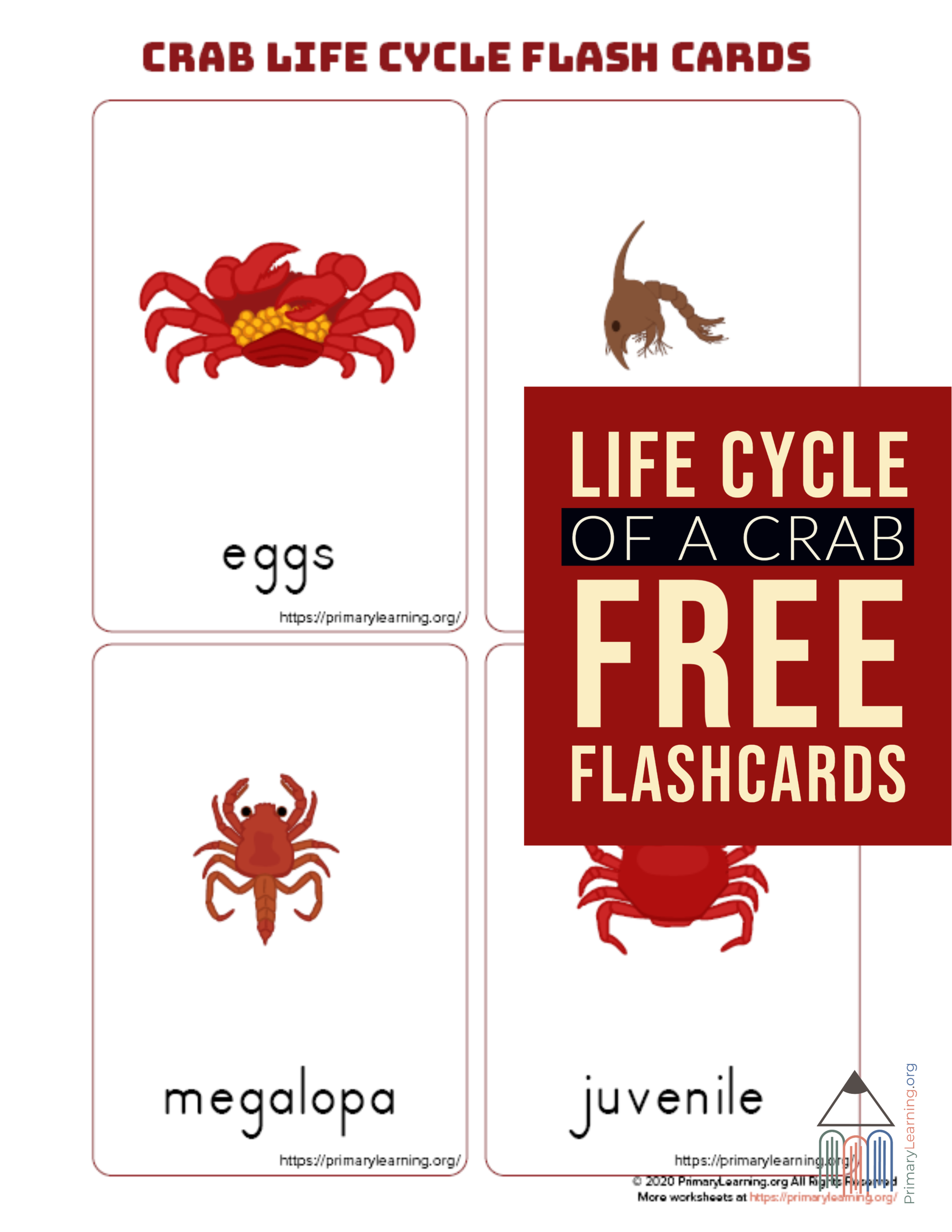 Crab Life Cycle Flashcards In