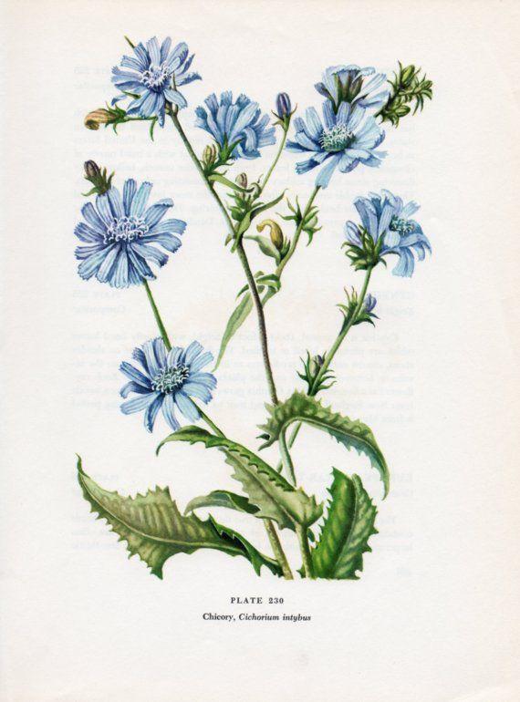 Chicory Botanical Illustration Cira 1951 Beautiful   Etsy   Botanical  illustration, Botanical drawings, Botanical flowers