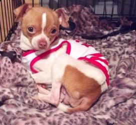 Adopt Donny Adoption Pending On Chihuahua Dogs Chihuahua Mix Dogs
