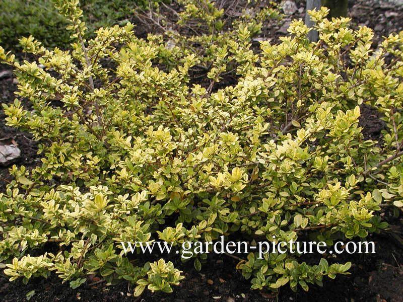 Ilex crenata \'Golden Gem\' - Lothlorien Golden garden | Pinterest