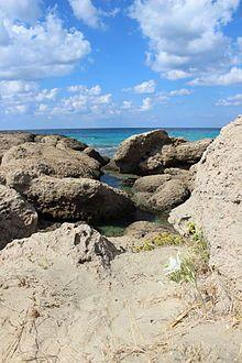 Dünen-Trichternarzisse – Wikipedia