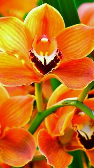 Orange orchid pinterest orchids flowers and amazing orange orchid exotic flowers real flowers orange flowers pretty flowers pink roses mightylinksfo