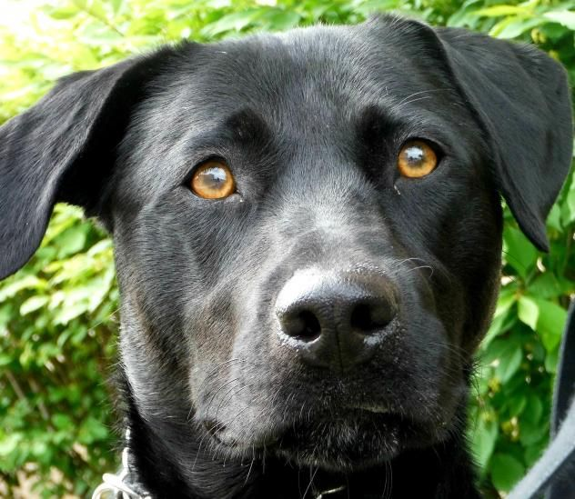Adopt Nora on Dog paintings, Labrador retriever
