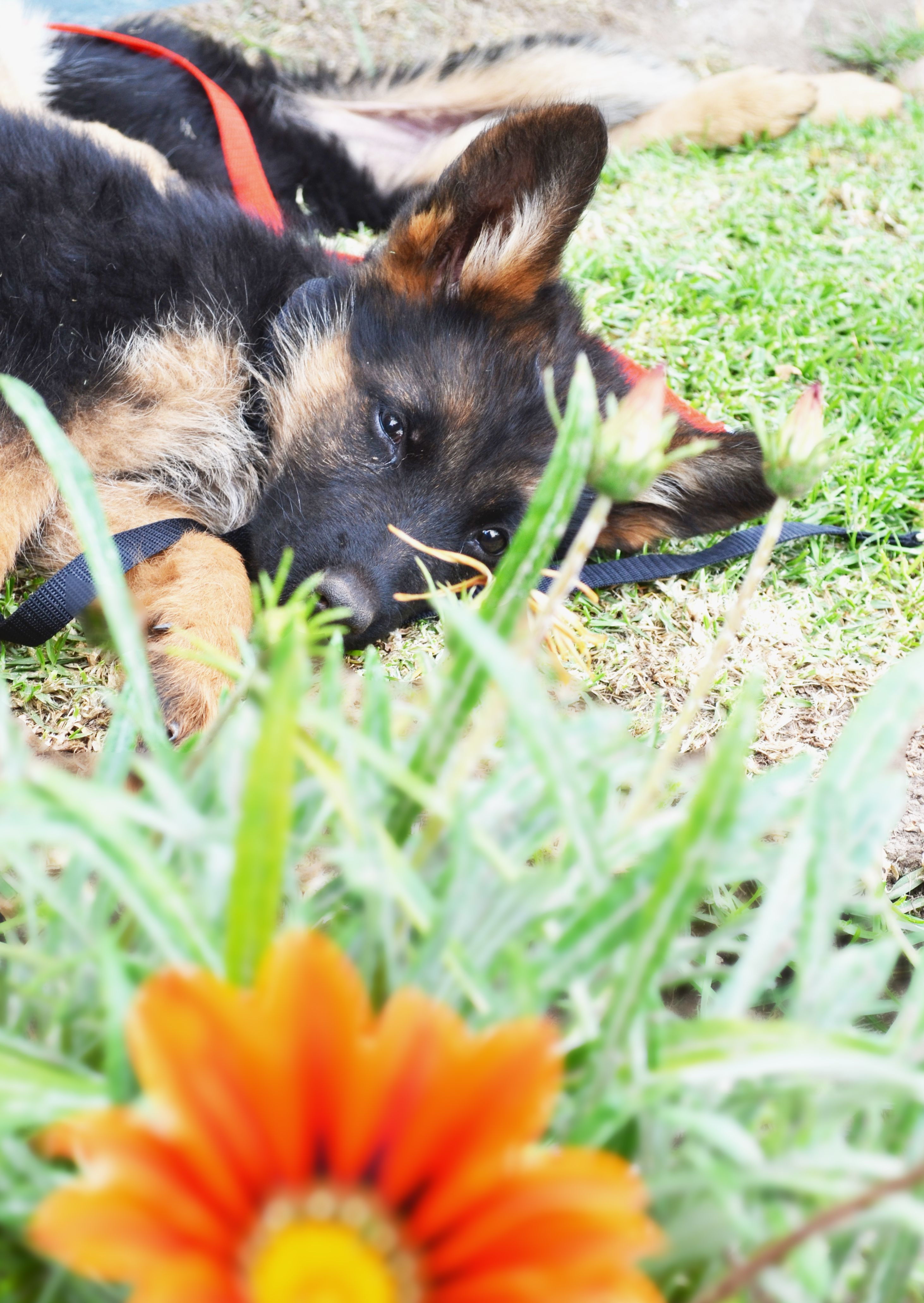 World Vets International Aid For Animals Www Worldvets Org Animals Vets Gsd Puppies