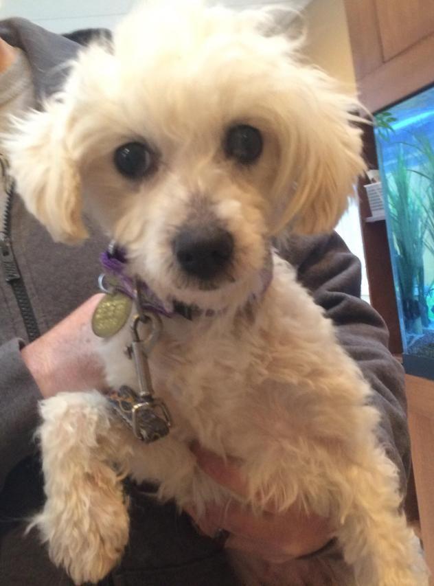 Adopt HenleyPuppymill Rescue on Havanese, Dog adoption