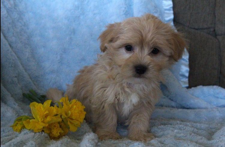 Havanese Puppy For Sale In Houston Tx Adn 28742 On Puppyfinder