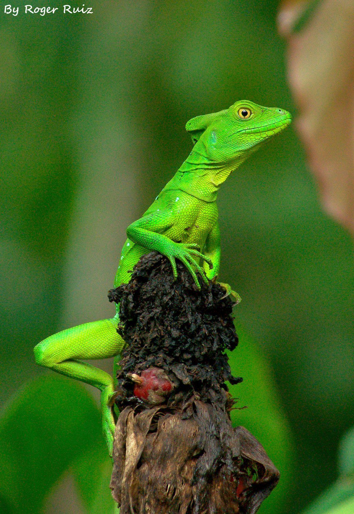 Plumed Basilisk Lizard (Basiliscus plumifrons) Costa Rica ...