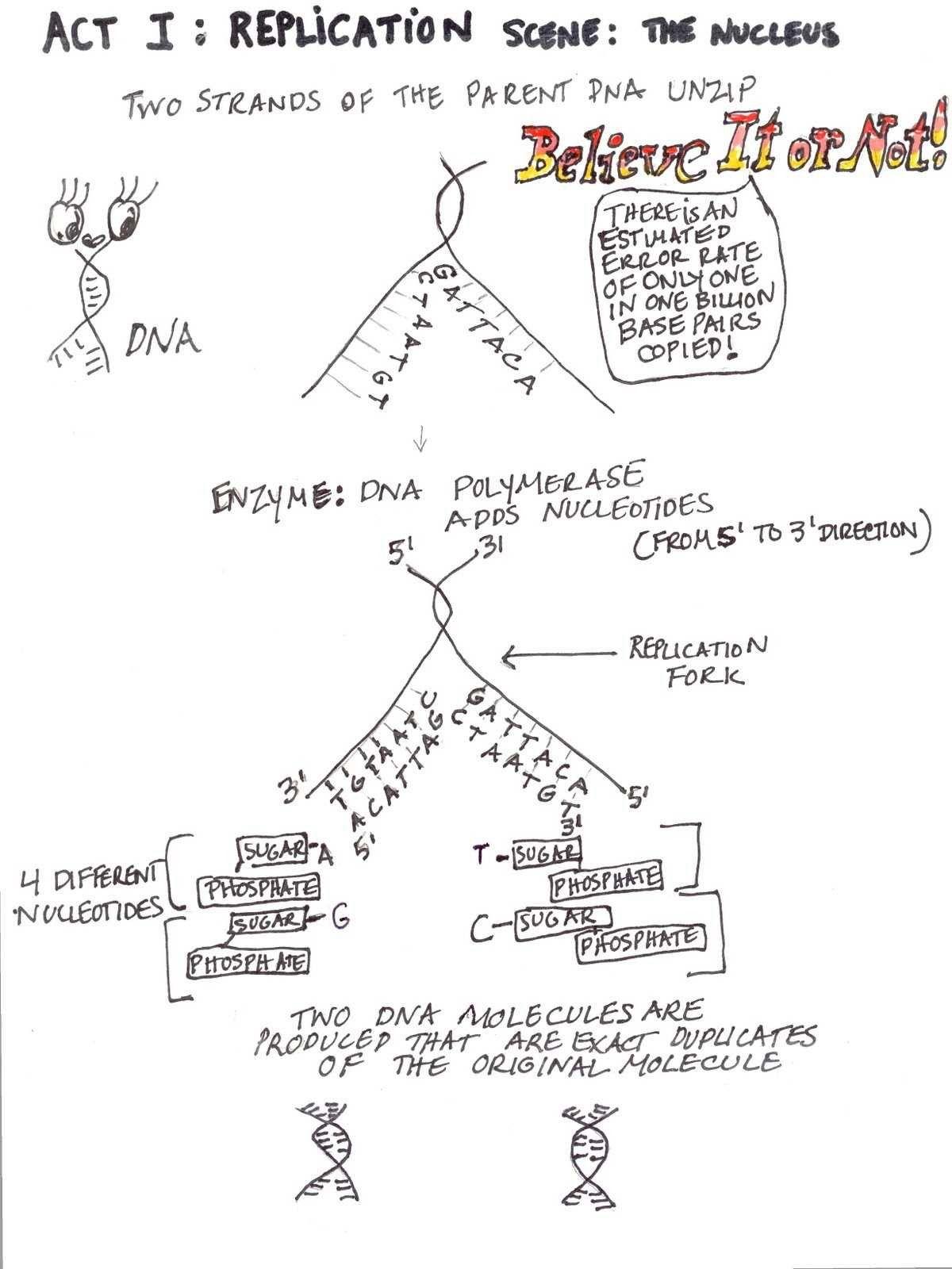 Dna Replication Coloring Worksheet In 2020 Dna Replication Protein Synthesis Dna Replication Activity