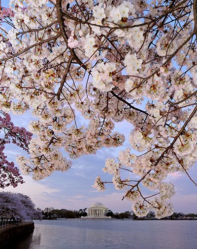Cherry Blossom Season Around The World In Pictures Cherry Blossom Festival Cherry Blossom Dc Best Places To Live