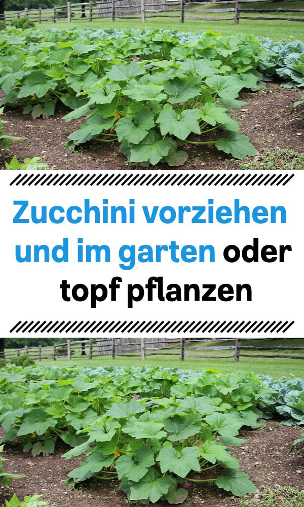 Zucchini Vorziehen Und Im Garten Oder Topf Pflanzen