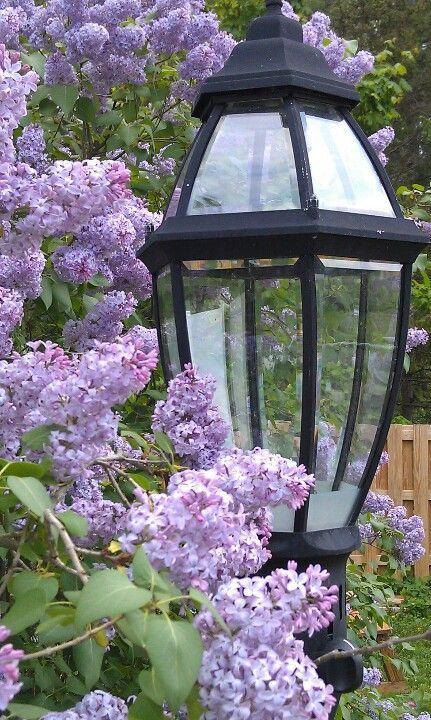Laterne Lantern Flieder Syringa Flieder Rosa Garten Lila Blumen