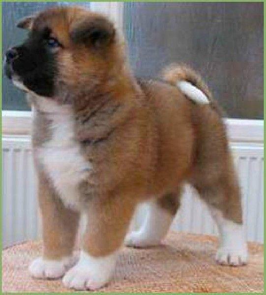 Most Inspiring Akita Chubby Adorable Dog - 5eecb67e13bea6a2471f256185dcf134  2018_155139  .jpg