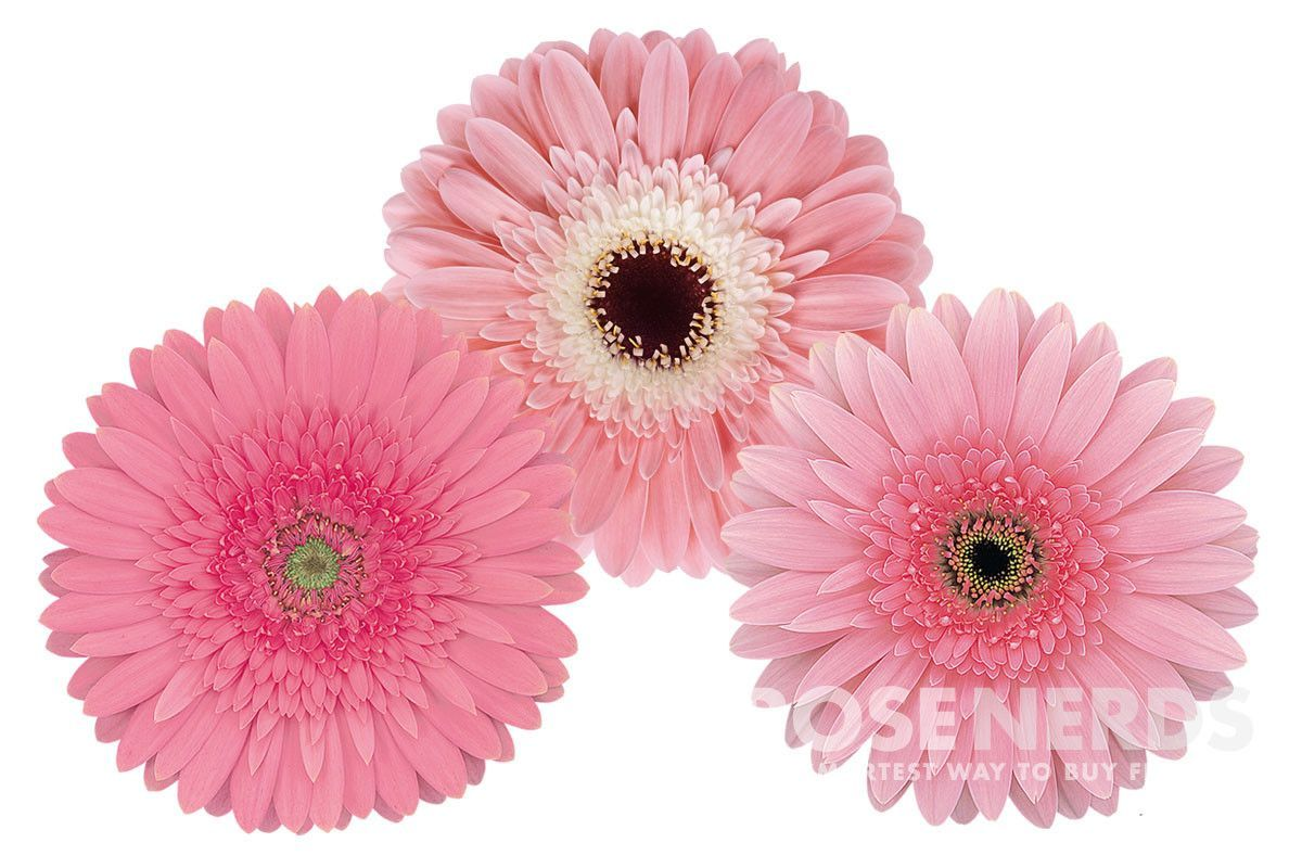 Rosenerds Pink Assorted Gerbera Daisies Wholesale Flowers