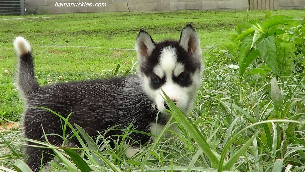 Husky Puppies At Play Husky Puppies For Sale Husky Puppies For