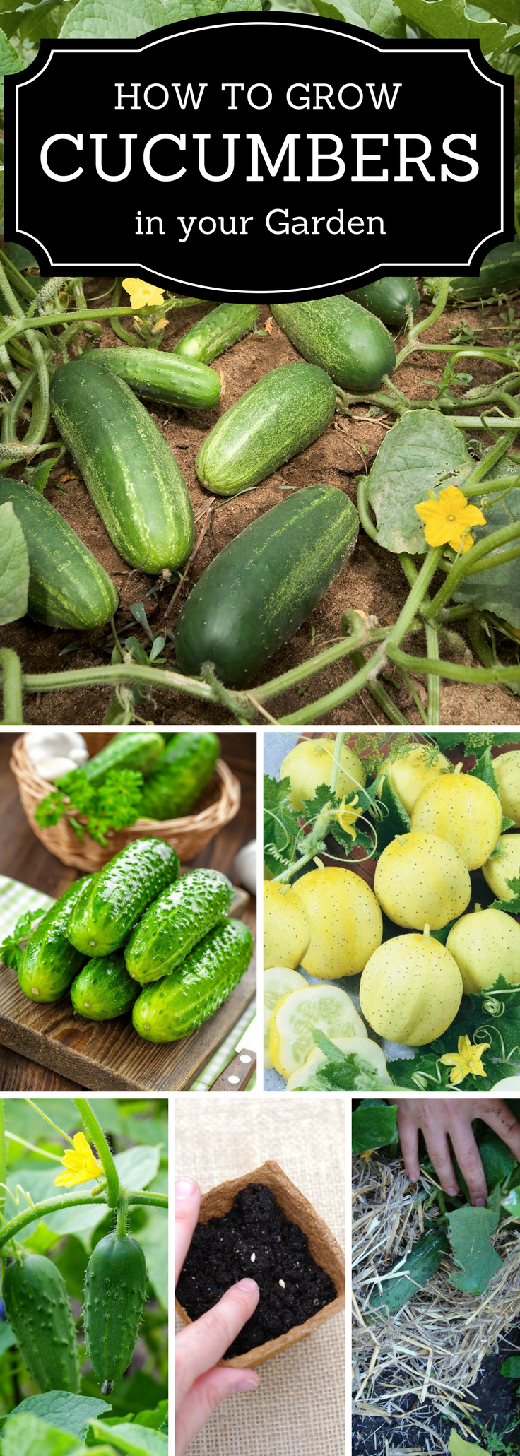 Ten Top Tips For Small Shady Urban Gardens: Top 10 Tips On Growing Cucumbers In The Home Garden