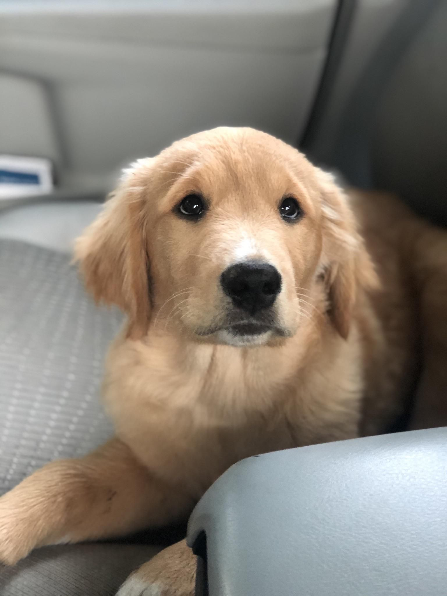 Pin On Golden Retriever Pics Only