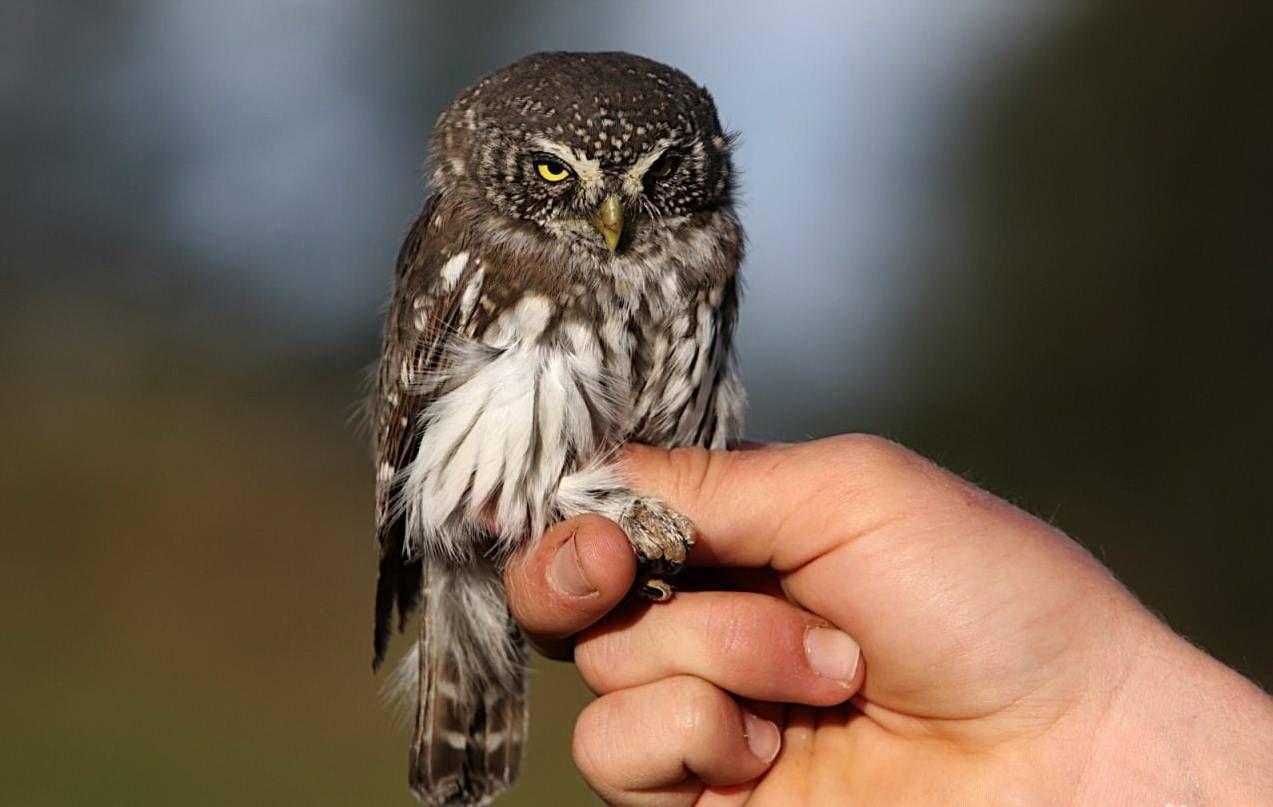 птица сыч его фото и где обитают осуществляет охранные функции