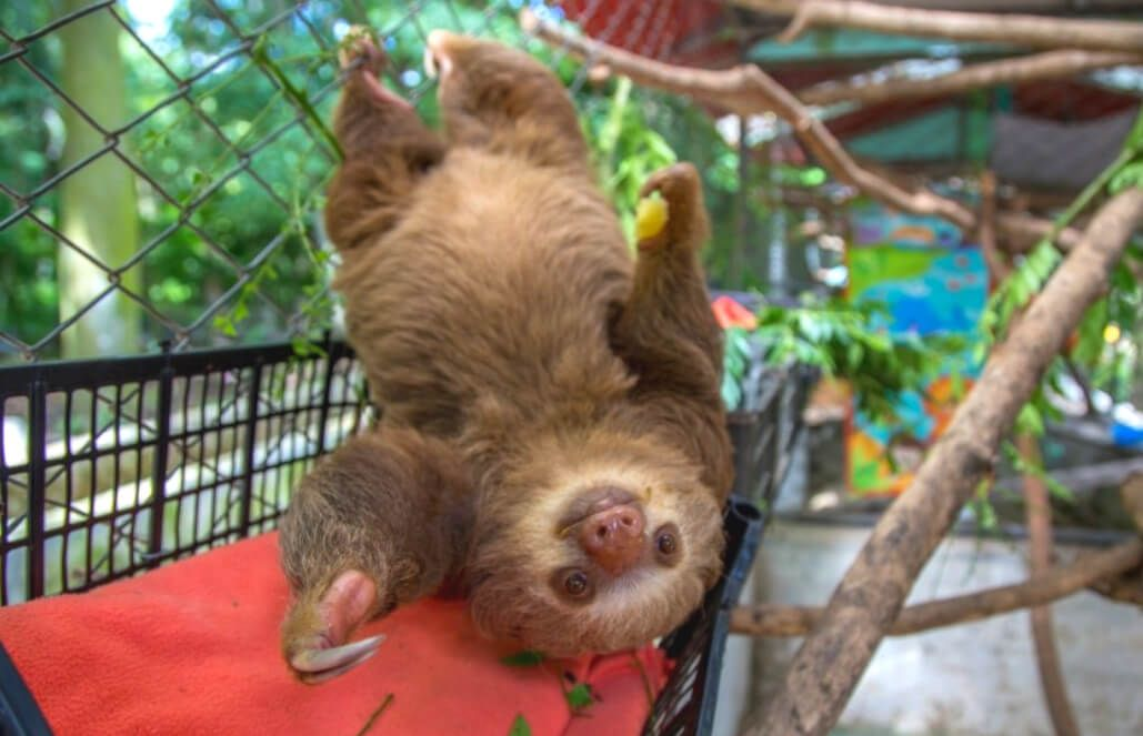 Volunteer With Sloths In Costa Rica Costa Rica Animals Costa Rica Sloth Volunteer