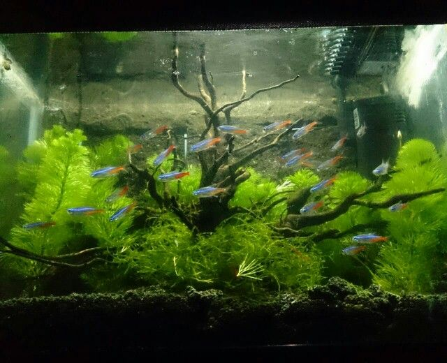 My First Tank With Neon Tetra And Java Moss