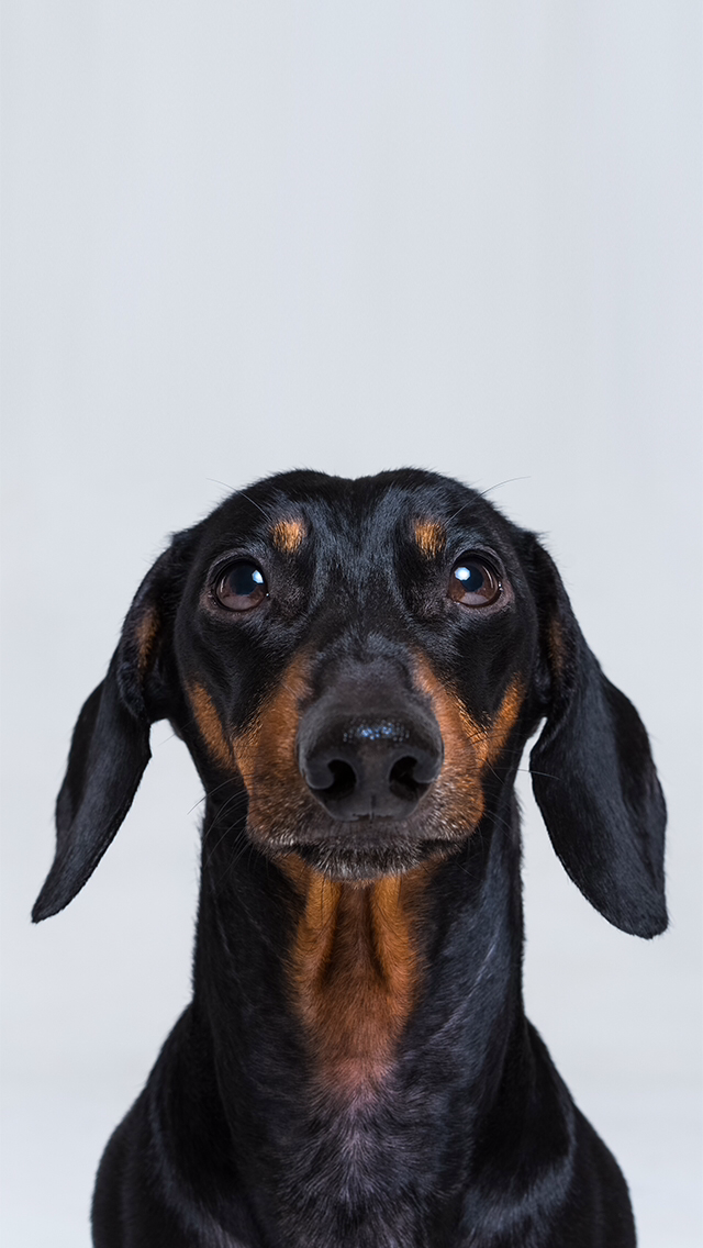 Dachshund dog phone wallpaper