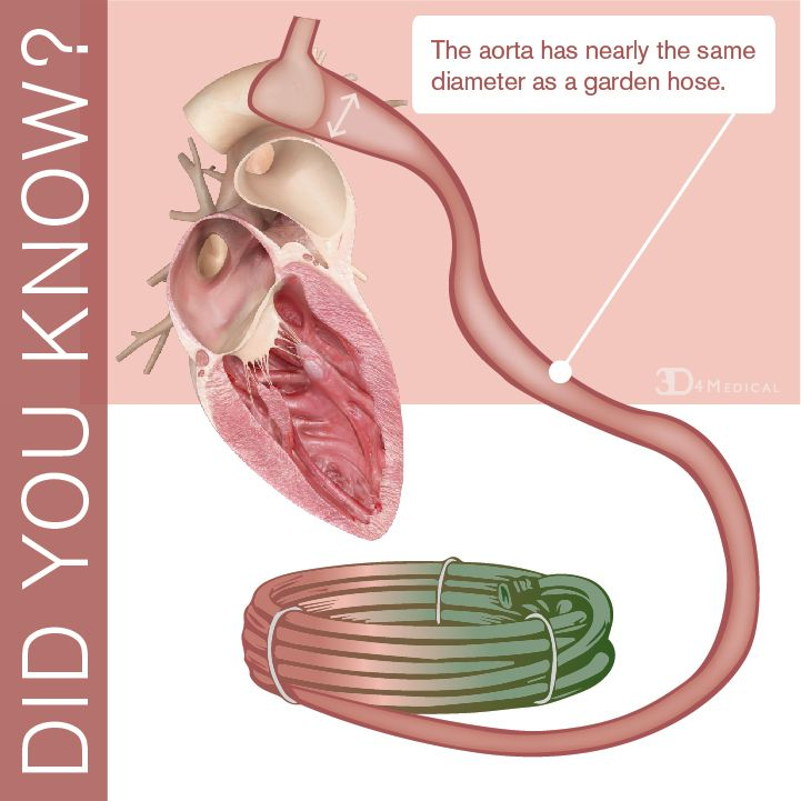 the aorta has nearly the same diameter as a garden hose - Garden Hose Diameter
