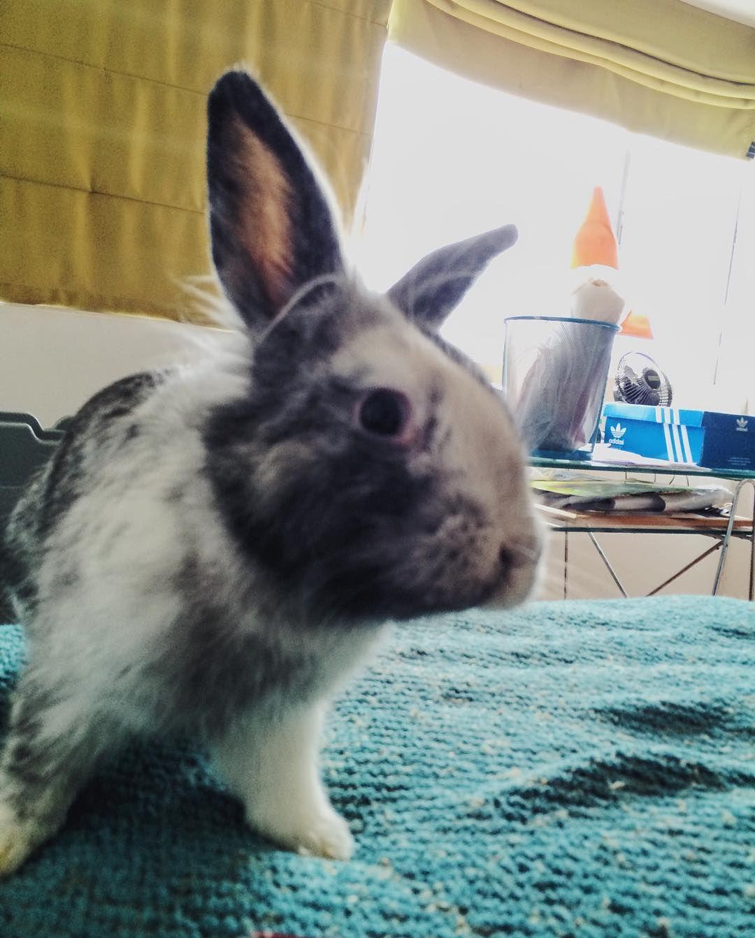 Me comí el cargador del celular de @rodolfinbr  #bunnystagram#bunnygram#bunnyears#bunniesofinstagram#bunnylove#bunny#bunnies#bunnylife#bunnyrabbit#rabbit#rabbits#rabbitsworldwide#hoppy by colombofeliz