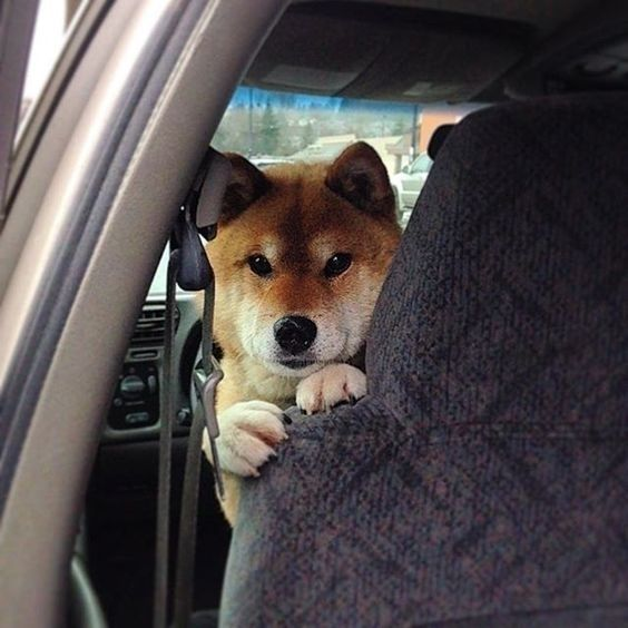 Caption This Pic Plz Follow Me Shiba Inu Dog Thank You Very Much Reposted From Shiba Inu Unlimited If Yo Shiba Inu Shiba Shiba Inu Dog