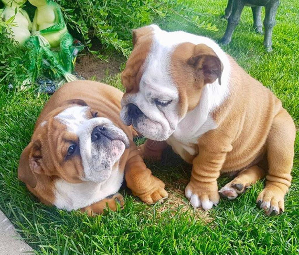 Pin By Cheryl On English Bulldogs Cute Animals Cute Baby