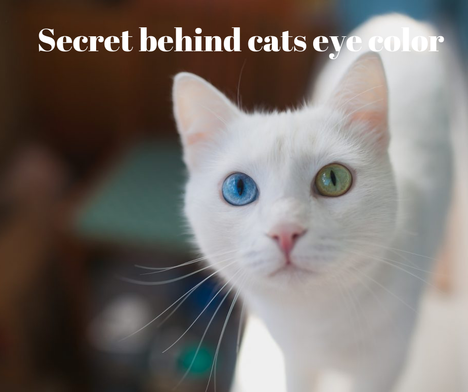 Do You Notice Cat S Eye Change Color What Causes It Kitten Eyes Cat Eye Colors Eye Color Change