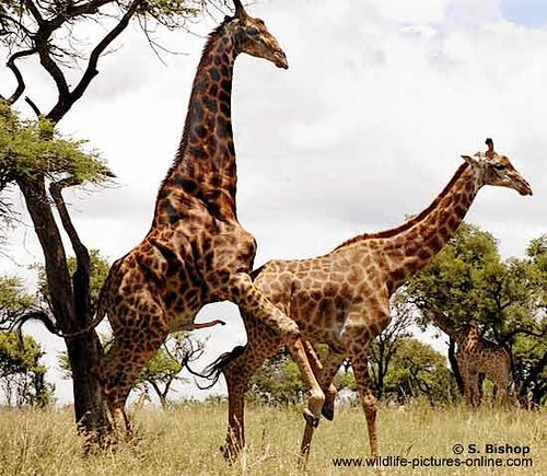 Hard core giraffe having sex