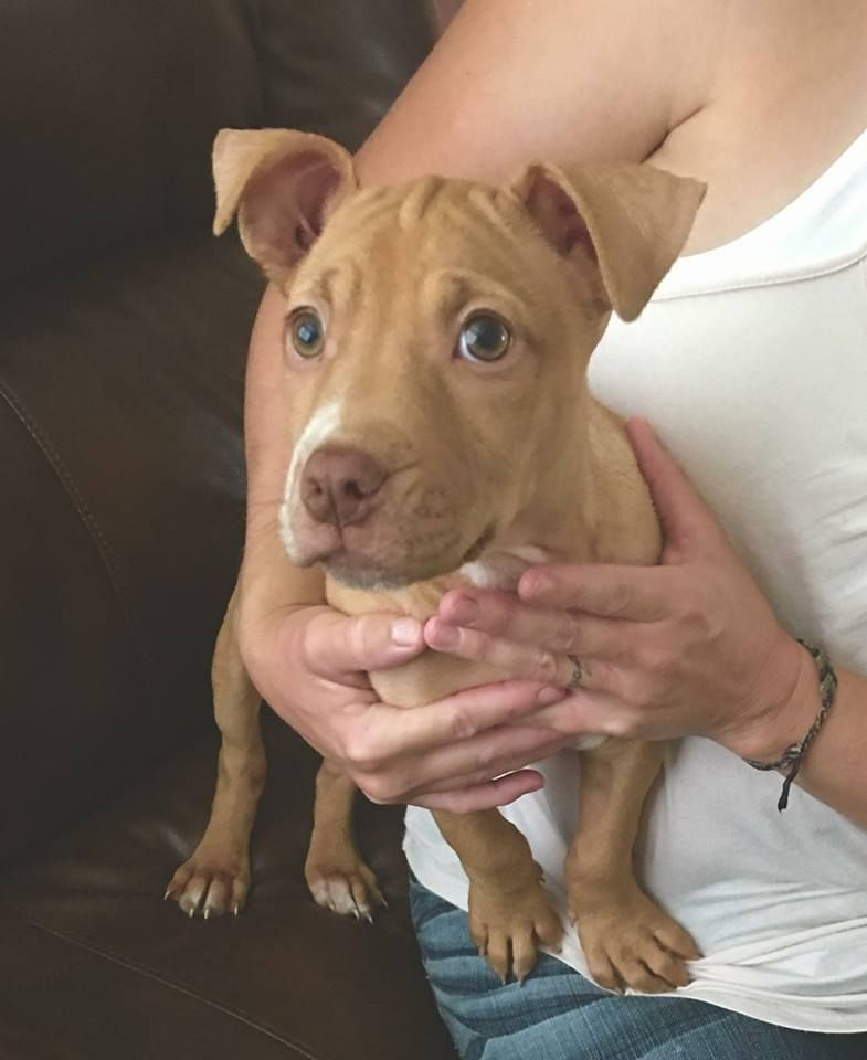 American Staffordshire Terrier dog for Adoption in Albany