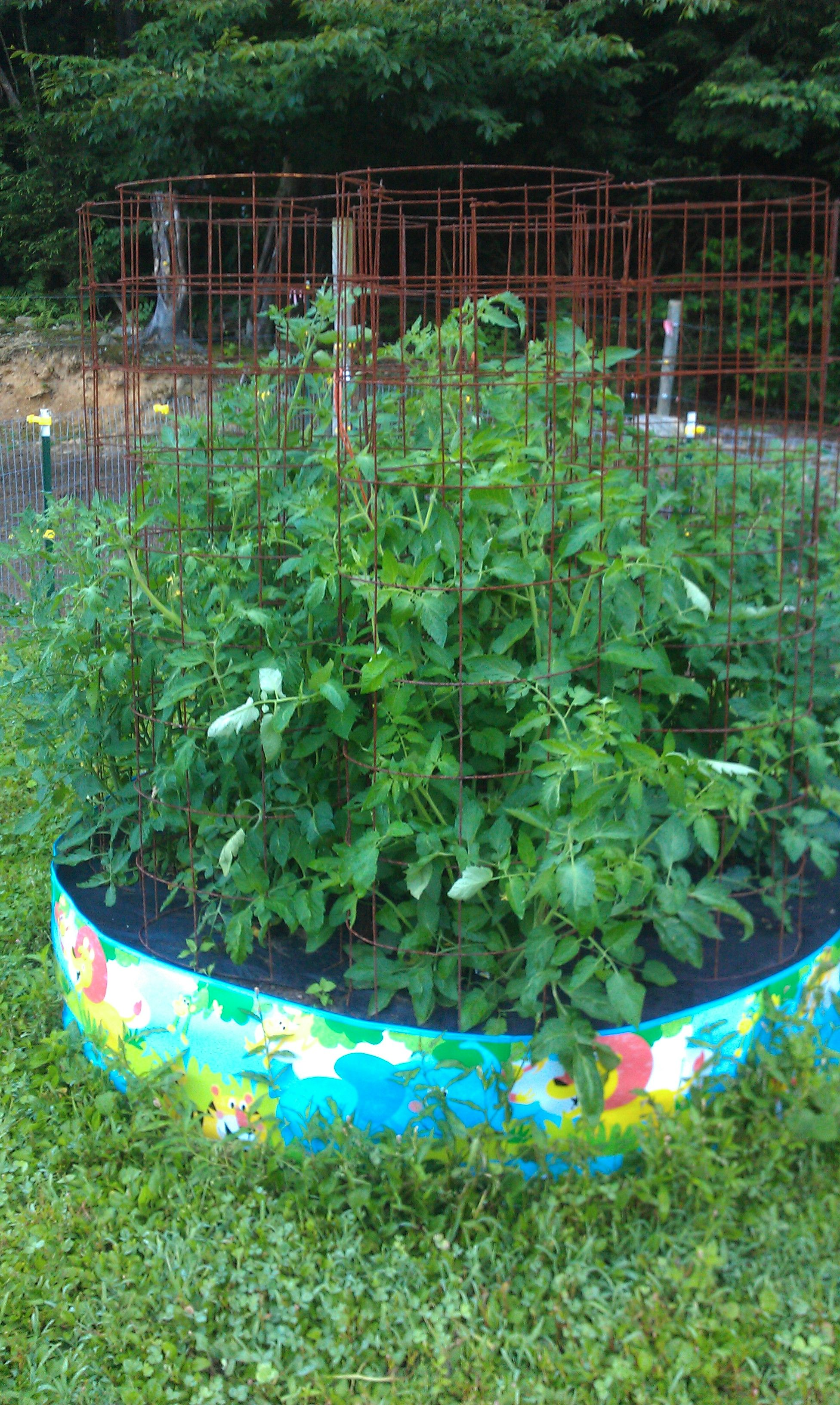 tomato plants in a kiddie pool used for a raised bed garden | for