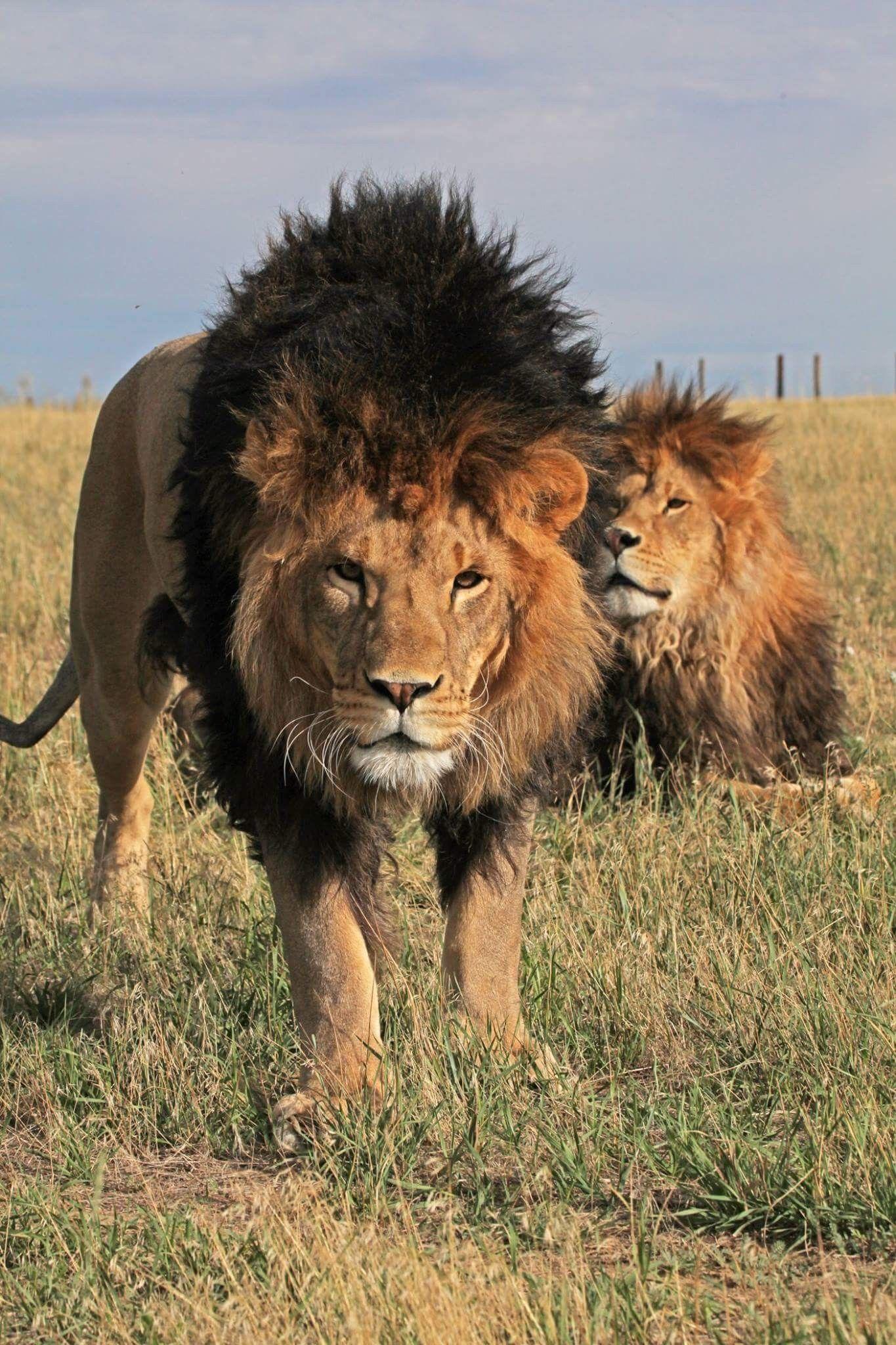 картины со львами фото короткое пожелание виктории