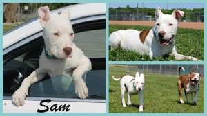 Sam Is An Adoptable Dogo Argentino Dog In Toledo Oh Watch Out Here Comes Our Gorgeous New Pit Crew Additio Dogo Argentino Dog Pitbull Terrier Dogo Argentino