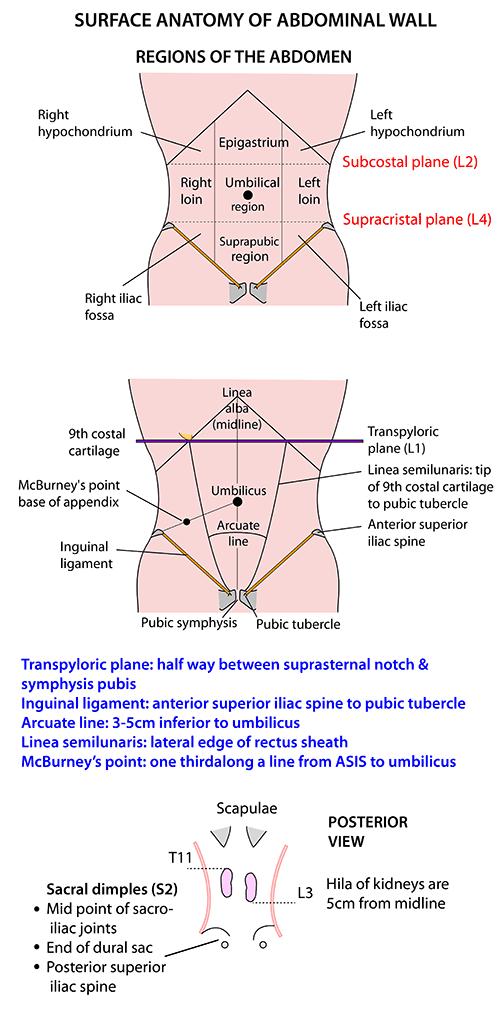 Instant Anatomy - Abdomen - Surface - Abdominal wall | Anatomy ...