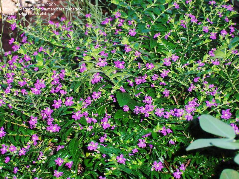 Plantfiles Pictures Mexican Heather False Heather Cuphea Hyssopifolia By Johnpeten Small Space Gardening Butterfly Garden Small Garden
