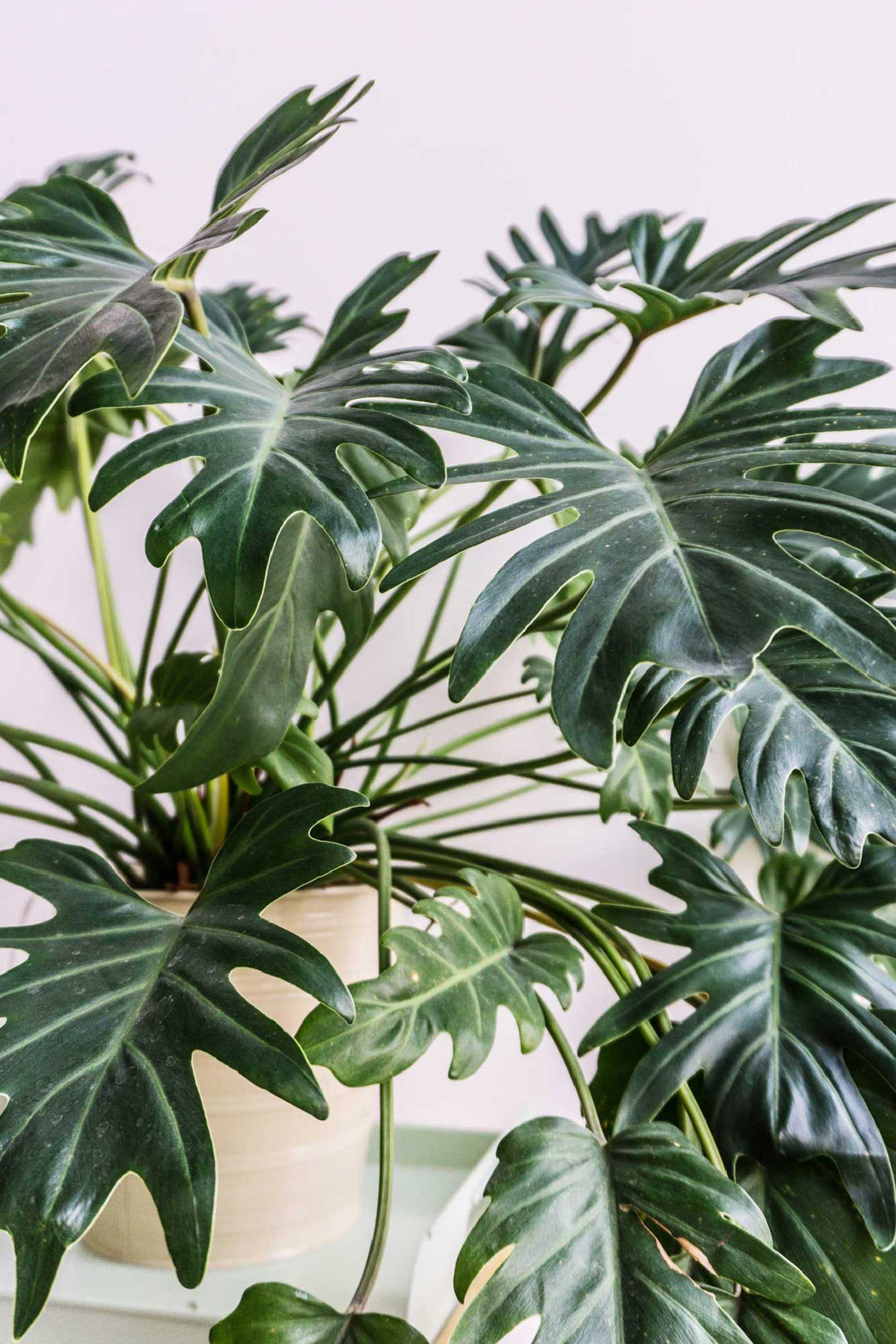 Where To Buy Indoor Plants Online Close Up Of Philodendron Xanadu On Sitsitso Plants