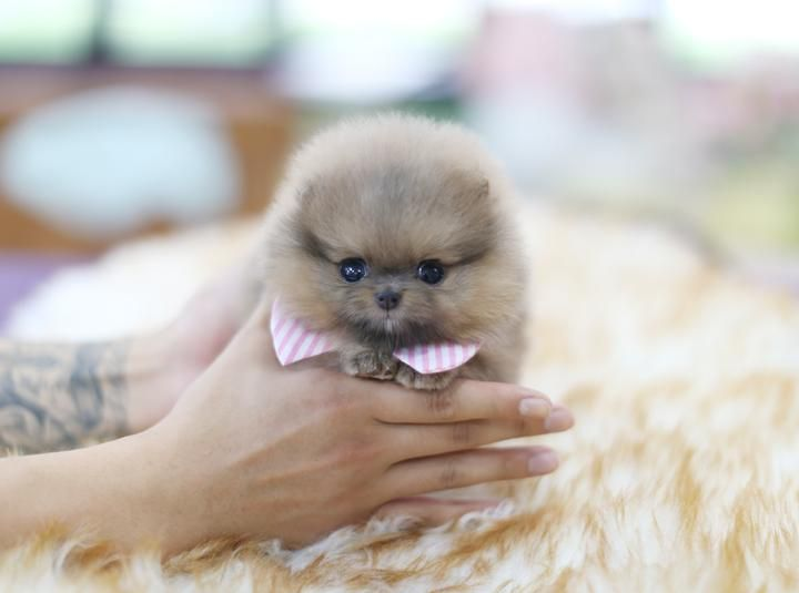 MARVELOUS Teacup puppies for sale, Teacup puppies, Cute