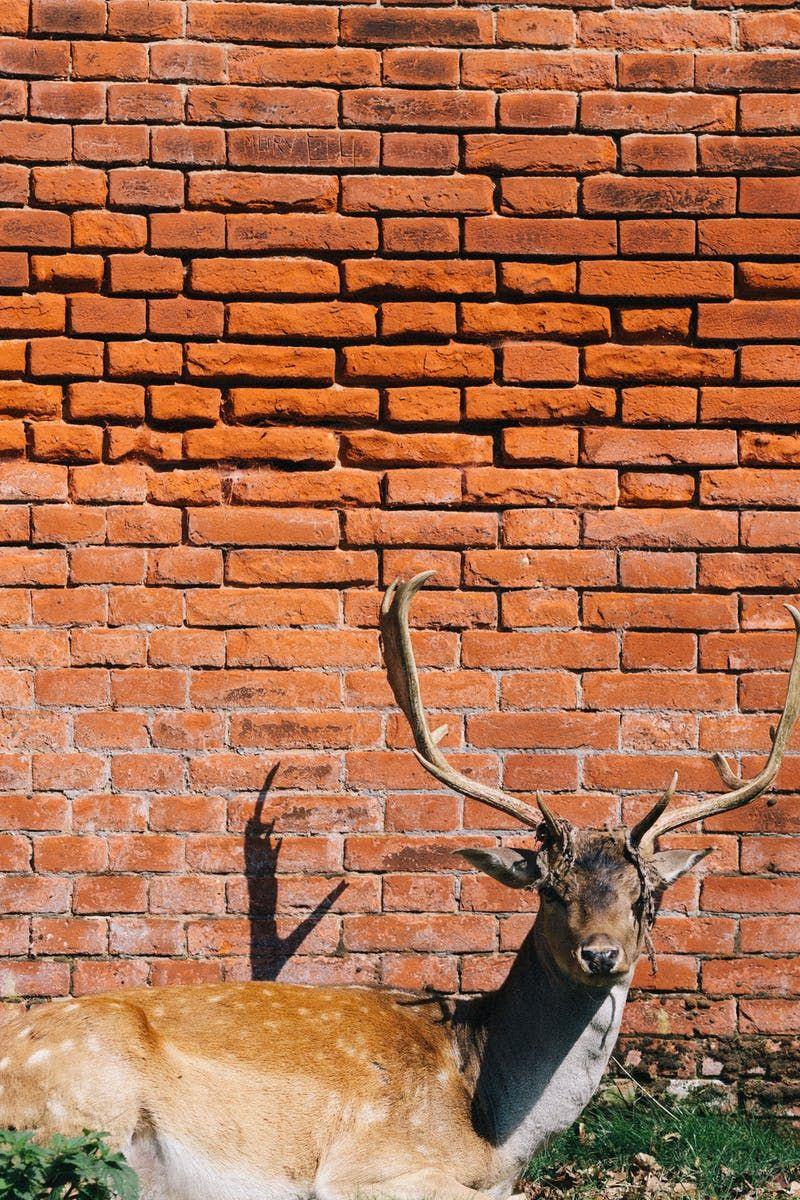 Brown Deer Lying Beside Brick Wall · Free Stock Photo