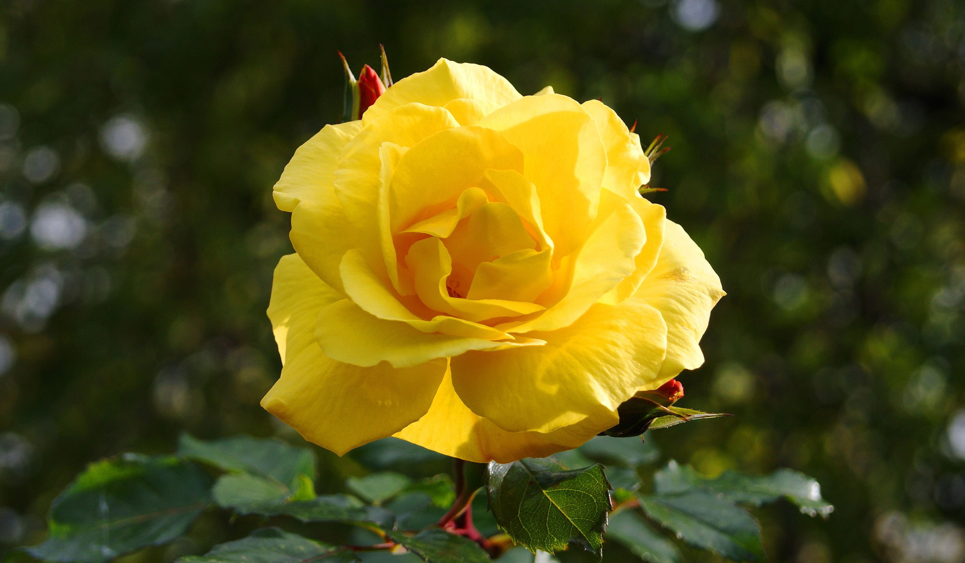 Hi res nature photos with yellow rose flower flower wallpapers hi res nature photos with yellow rose flower dhlflorist Image collections