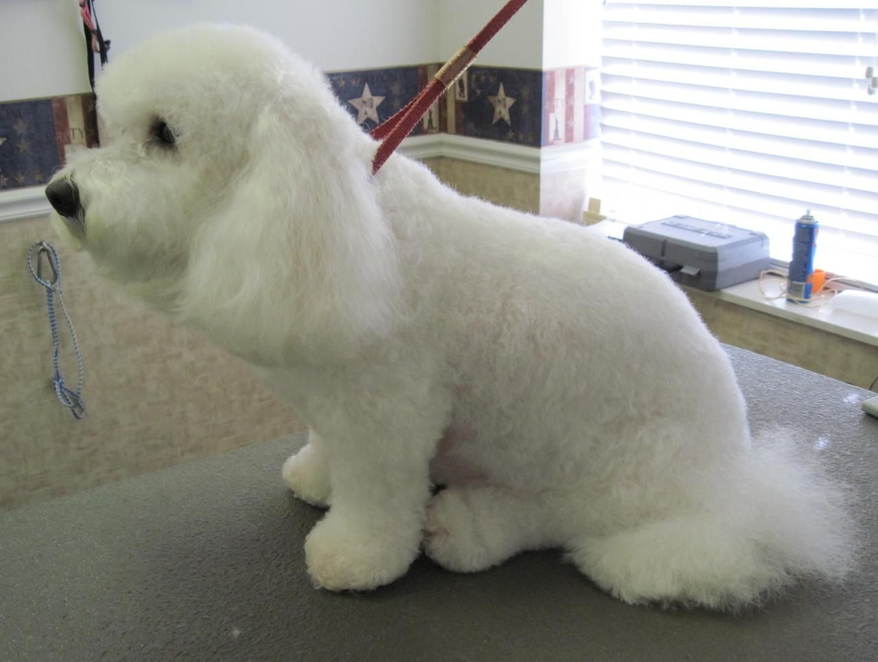 bichon frise haircut - google search | bichon | pinterest | bichon
