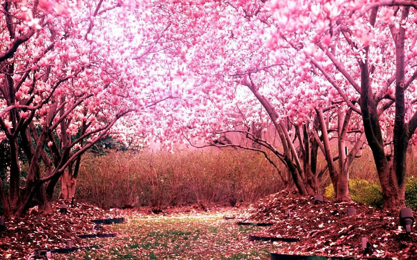 Awesome Japanese Pink Aesthetic Laptop Wallpaper Photos In 2020 Cherry Blossom Background Cherry Blossom Wallpaper Cherry Blossom Tree