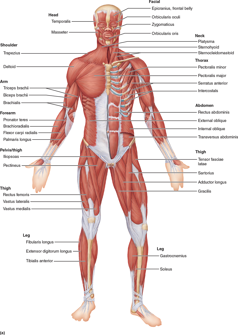 hight resolution of major skeletal muscles of the body