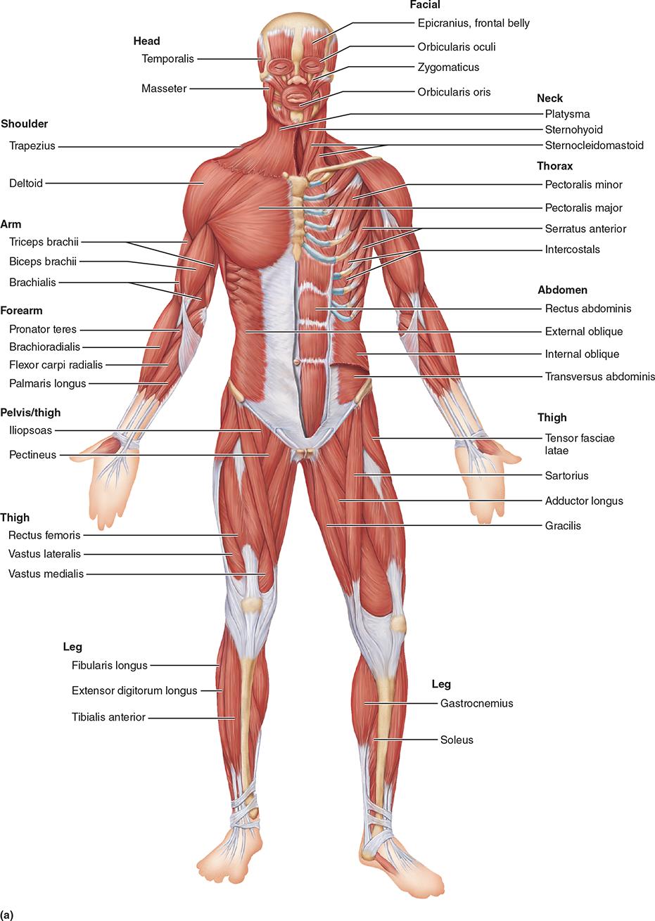 medium resolution of major skeletal muscles of the body