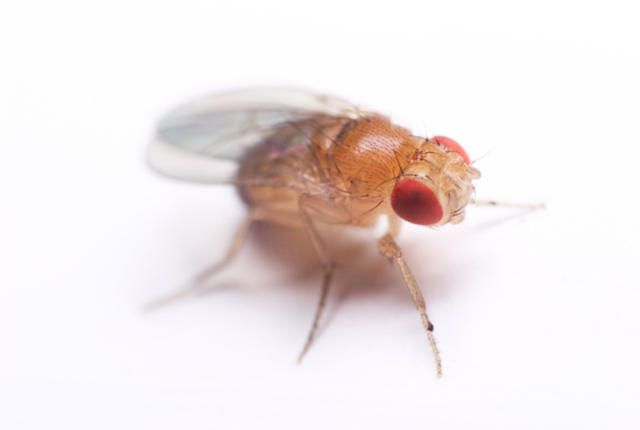 You Can Catch Flies With Honey But Fake Sweetener Kills Them Fruit Flies Insect Species Fruit
